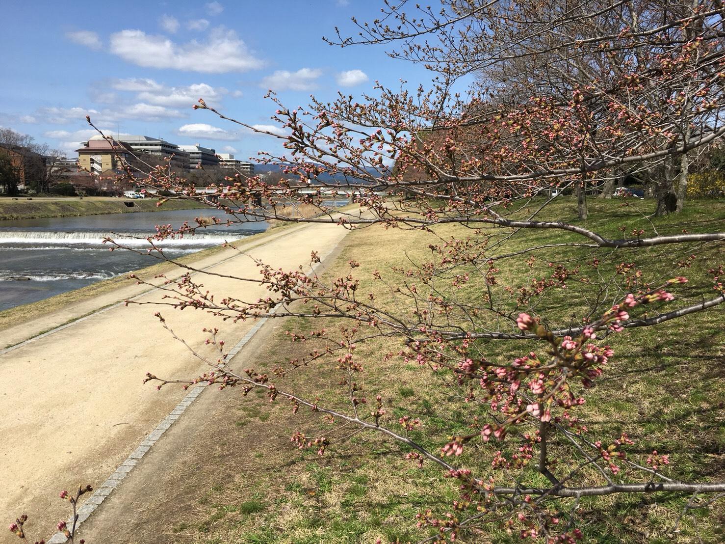 高野川沿い 桜並木
